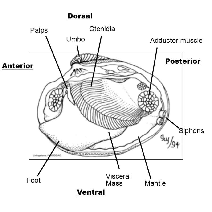 Clam interior | Middle School Science at Synergy School